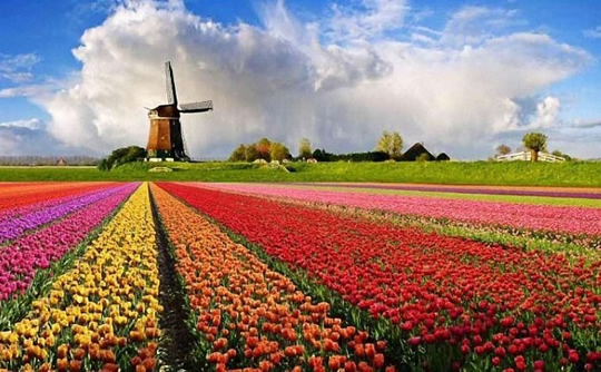 tulip_fields_netherlands